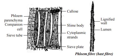 Phloem tissue