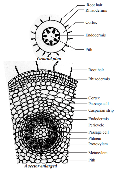Primary Structure Of Monocotyledonous Root Maize Root Monocot Root