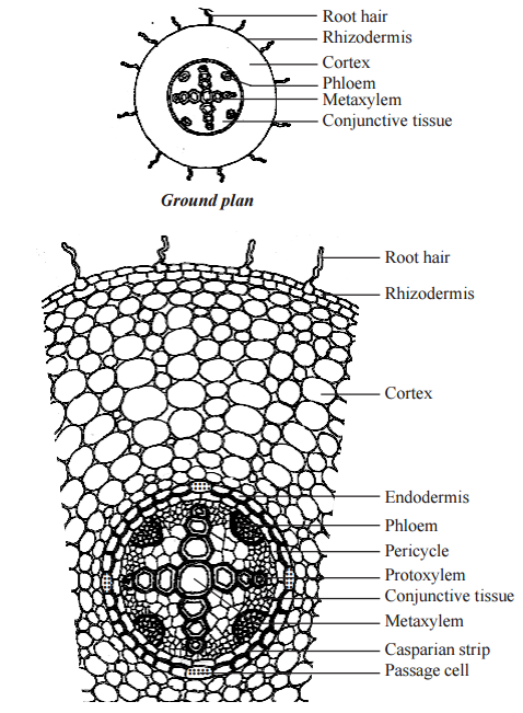 Primary Structure of Dicotyledonous Root - Bean Root dicot root