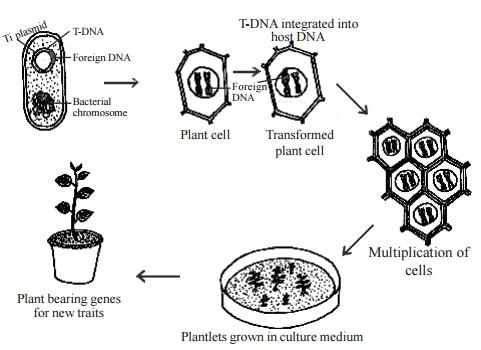 gene transfer in plants