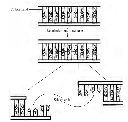 Action of restriction enzyme