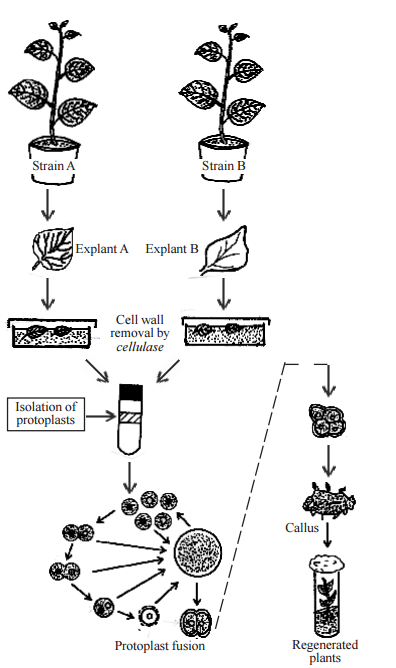 Protoplasmin fusion