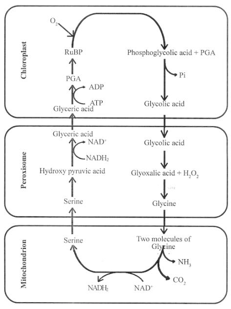 photorespiratory pathway